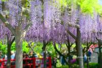 紫の雨が降る*亀戸天神藤まつり - 陽だまりベンチ+me