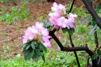神代植物公園の石楠花と藤 - ぶらり散歩 ~四季折々フォト日記~