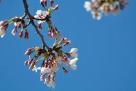 まだまだ桜 - 味わふ瞬間 (あじわうとき)