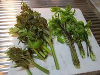 コシアブラとたらの芽 - ごまめのつぶやき