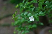 ひょっとこ面シロヤマブキ(白山吹)他 - 身近な自然を撮る