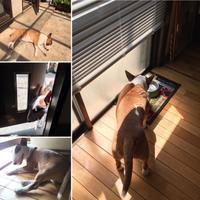 日光浴 - ミニチュアブルテリアダージと一緒2