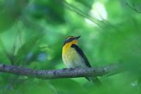 ようやく撮れました - TACOSの野鳥日記