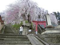 4月21日(土)東北の桜 - 柴又亀家おかみの独り言