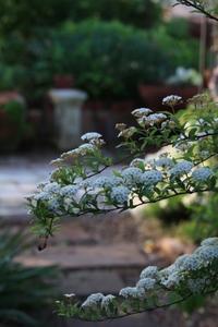 今日のお庭の様子 - ゆきなそう  猫とガーデニングの日記