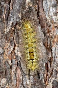 アカヒゲドクガの幼虫 - こんなものを見た2