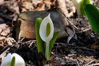 ミズバショウ、もう咲いています - オーナーズブログ・八ケ岳南麓は晴れています!