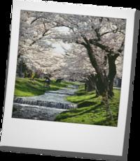 お花見・・・観音寺川の桜 - khh style