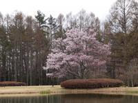 蓼科の桜 - モルゲンロート