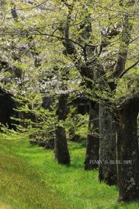 SAKURA*2018 その16 【空に舞い上がる桜・美しい場所】 - FUNKY'S BLUE SKY