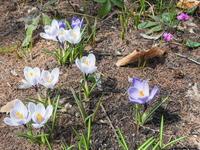 雪どけが遅れ・・スノードロップとクロッカスが同時に咲きました。 - 十勝・中札内村「森の中の日記」~café&宿カンタベリー~