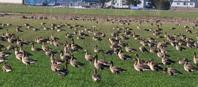 宮島沼へ①畑のマガン達 - 今日の鳥さんⅡ