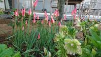 我が庭春爛漫 - 今から・花