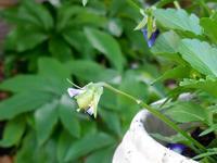 種まき育てのビオラに種が♪ - ヨガと官足法で素敵生活