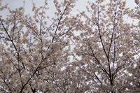 【よりみち編】桜満開 - 長岡・夢いっぱい公園