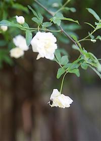 庭の花と虫(3):白木香と黒瓜葉虫 - 世話要らずの庭