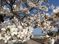 春が来たスティック #joystick #ロック #デスメタル - JOY STICK Web Log
