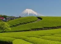 茶畑 - 富士山に夢中