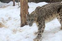 残雪とユキヒョウ~雪上のミルチャ - 続々・動物園ありマス。