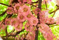 桃色の藤 - ひつじweblog
