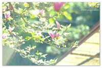 紫木蓮。 - Yuruyuru Photograph