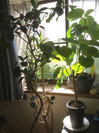 観葉植物の復活&成長期 - ルーシュの花仕事