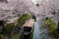 伏見港の桜 - ぴんぼけふぉとぶろぐ2