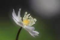 Soft windflower - kzking1963 Digital Photo Diary