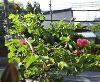 バラの季節 - ちくちく薔薇たいむ(*^^*)