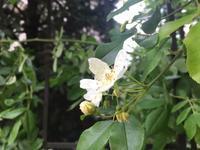 バラに忍び寄る害虫「バラゾウムシ」「アオクサカメムシ」 - 駒 場 バ ラ 会 咲く 咲く 日 誌