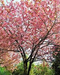 八重桜とニリンソウ - 星の小父さまフォトつづり