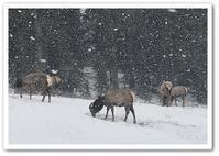 雪の中のELK - カナディアンロッキーで暮らす