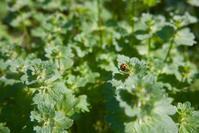 ナナホシテントウと、そのソックリさん(クロボシツツハムシ) - 世話要らずの庭