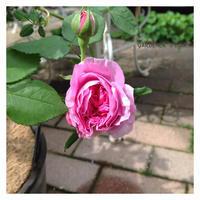 1st. Rose 2018 - Gardener*s Diary