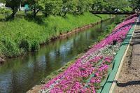 芝桜祭りとジェラート屋さん - つれづれ日記