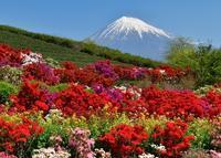杉田のつつじ - 富士山に夢中