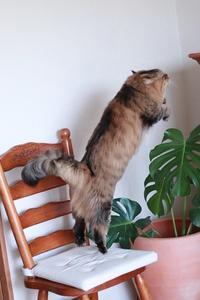 ずんぐりむっくりな猫、ヨロコブラで久々に飛ぶ - きょうだい猫と仲良し暮らし