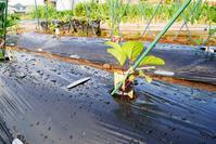 苗の植え付けトマトなすズッキーニ大葉 - 畑であそぶ ~のんびり家庭菜園・畑しごと~