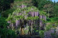 蓮華寺池公園のナガフジ(藤の里) - 蓮華寺池の隣5