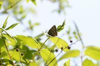 春型のトラフシジミ。 - 堺のチョウ