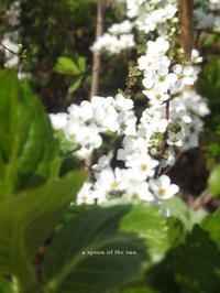 white flower -  小さじいっぱいのたいよう