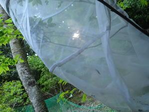 オオムラサキの幼虫 - いーばしょ。居場所。
