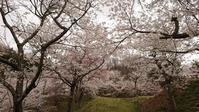 桜巡り5由ノ杜公園@福島県玉川村 - 963-7837