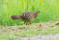 コジュケイ - 近隣の野鳥を探して