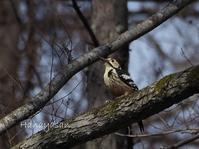 野幌の森の鳥達 - こもれびの森