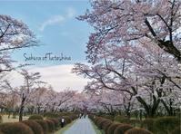 蓼科の桜 - ハーブガーデン便り
