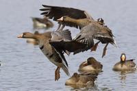 春の宮島沼へ♪ - 北の大地で野鳥ときどきフライフィッシング