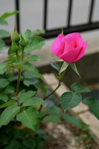 薔薇の開花一番 - 春&ナナと庭の薔薇