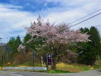 乗鞍高原も、桜の花が咲いてきました~!! - 乗鞍高原カフェ&バー スプリングバンクの日記②