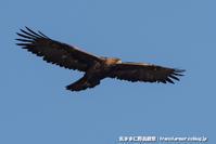 山の王者に謁見 - 気ままに野鳥観察